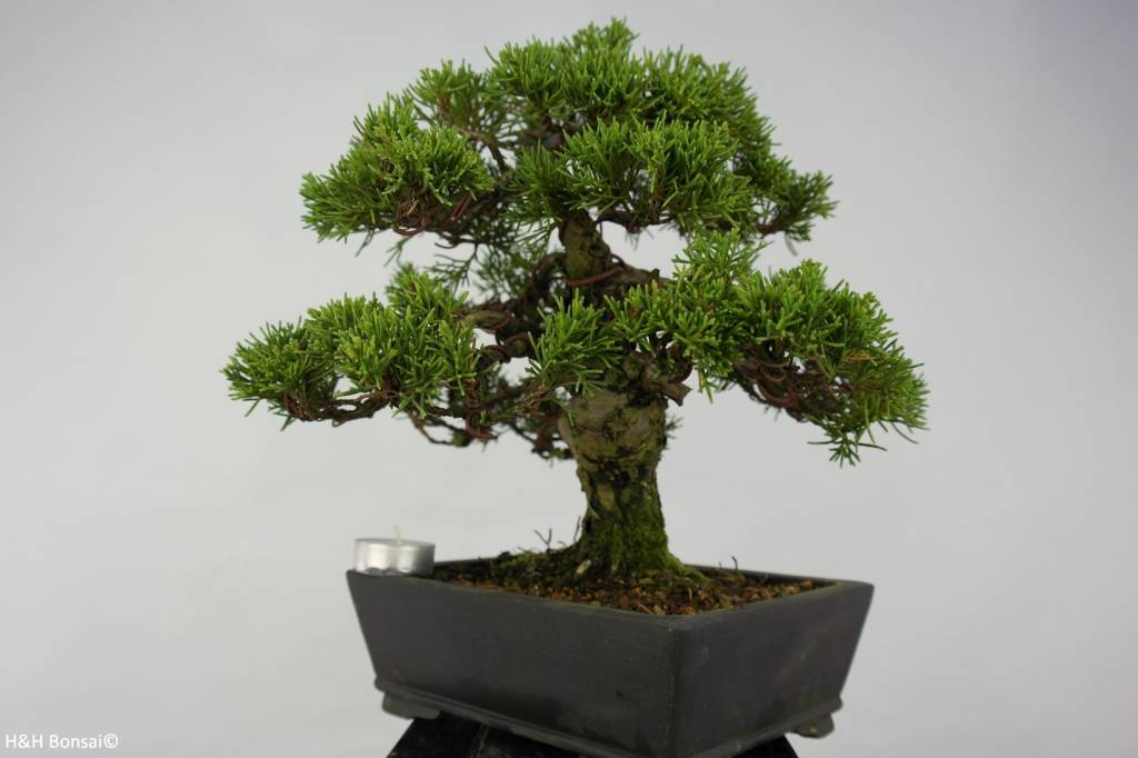 Bonsai Chinese Juniper, Juniperus chinensis, no. 5736