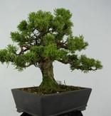 Bonsai Chin. Wacholder, Juniperus chinensis, nr. 5736