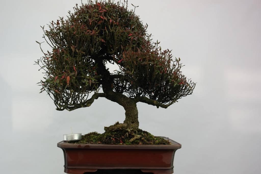 bonsai sternjasmin trachelospermum asiaticum nr 5107. Black Bedroom Furniture Sets. Home Design Ideas