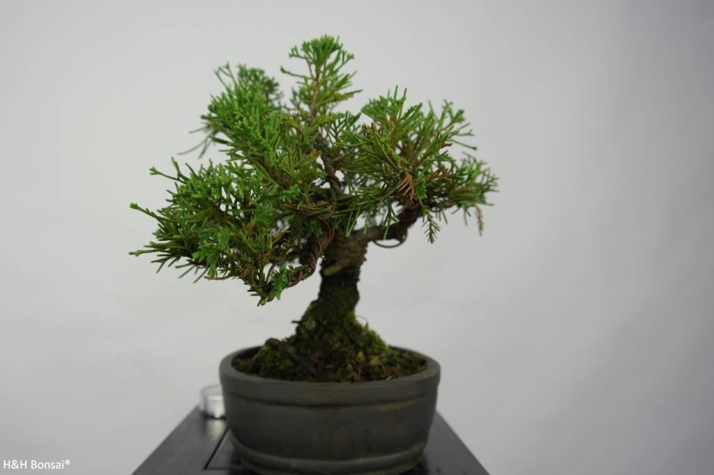 bonsai shohin chin wacholder juniperus chinensis nr. Black Bedroom Furniture Sets. Home Design Ideas