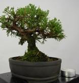 Bonsai Shohin Chin. Wacholder, Juniperus chinensis, nr. 5800