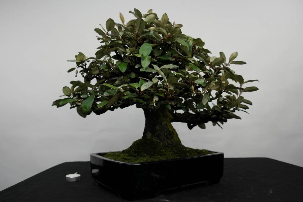 Bonsai Ölweide, Elaeagnus, nr. 5143