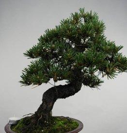 Bonsai Schwarzkiefer kotobuki, Pinus thunbergii kotobuki, no. 5497