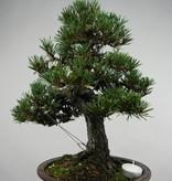 Bonsai Schwarzkiefer kotobuki, Pinus thunbergii kotobuki, no. 5494