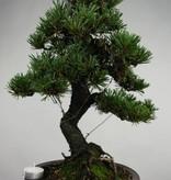 Bonsai Japanese Black Pine kotobuki, Pinus thunbergii kotobuki, no. 5496