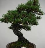 Bonsai Schwarzkiefer kotobuki, Pinus thunbergii kotobuki, no. 5496