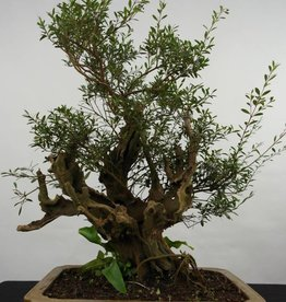Bonsai Syzygium sp. , no. 5825