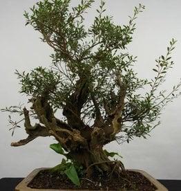Bonsai Syzygium sp. , nr. 5825