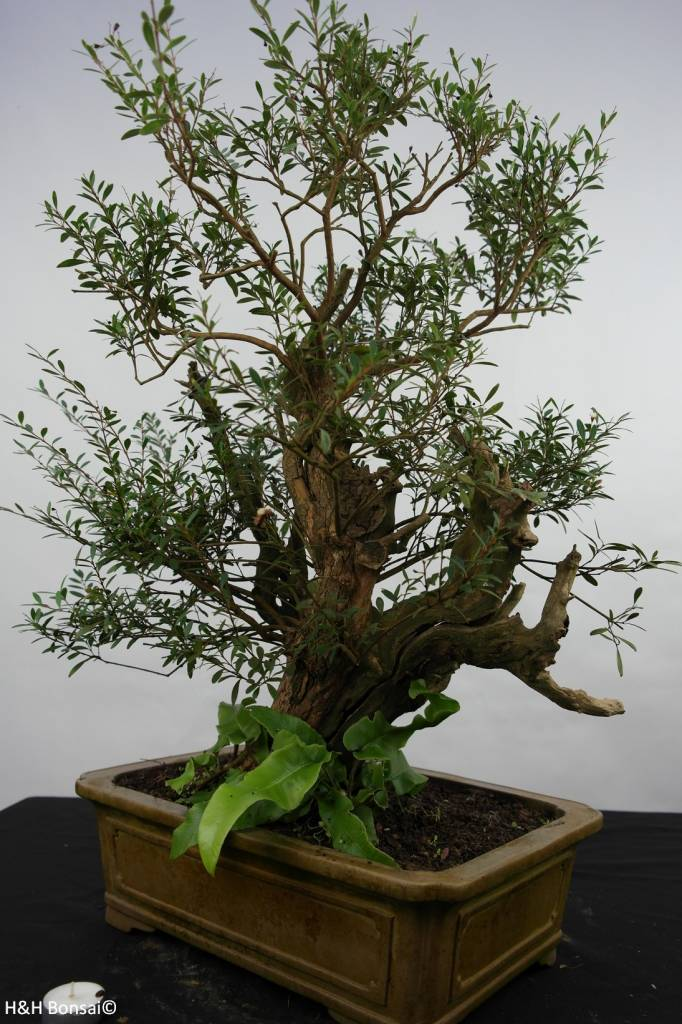 Bonsai Syzygium sp. , nr. 5825