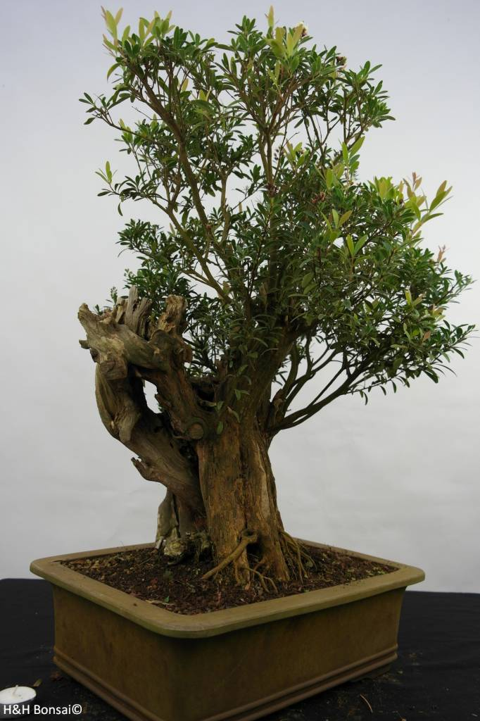 Bonsai Syzygium sp. , nr. 5828