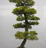 Bonsai Mädchenkiefer, Pinus penthaphylla, nr. 5182