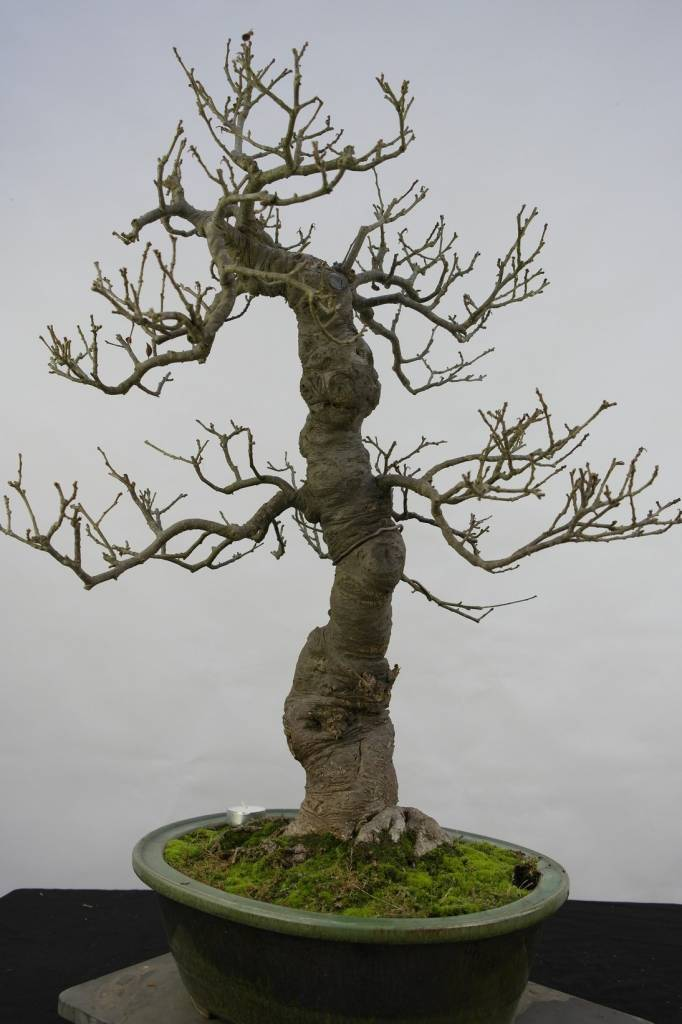 bonsai jap winterbeere ilex serrata nr 5131 www. Black Bedroom Furniture Sets. Home Design Ideas
