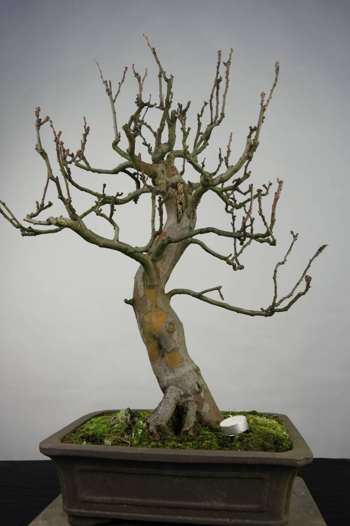 Bonsai Quitte, Cydonia oblonga, nr. 5234