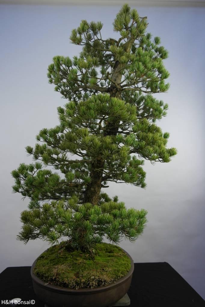 Bonsai Mädchenkiefer, Pinus penthaphylla, nr. 5844