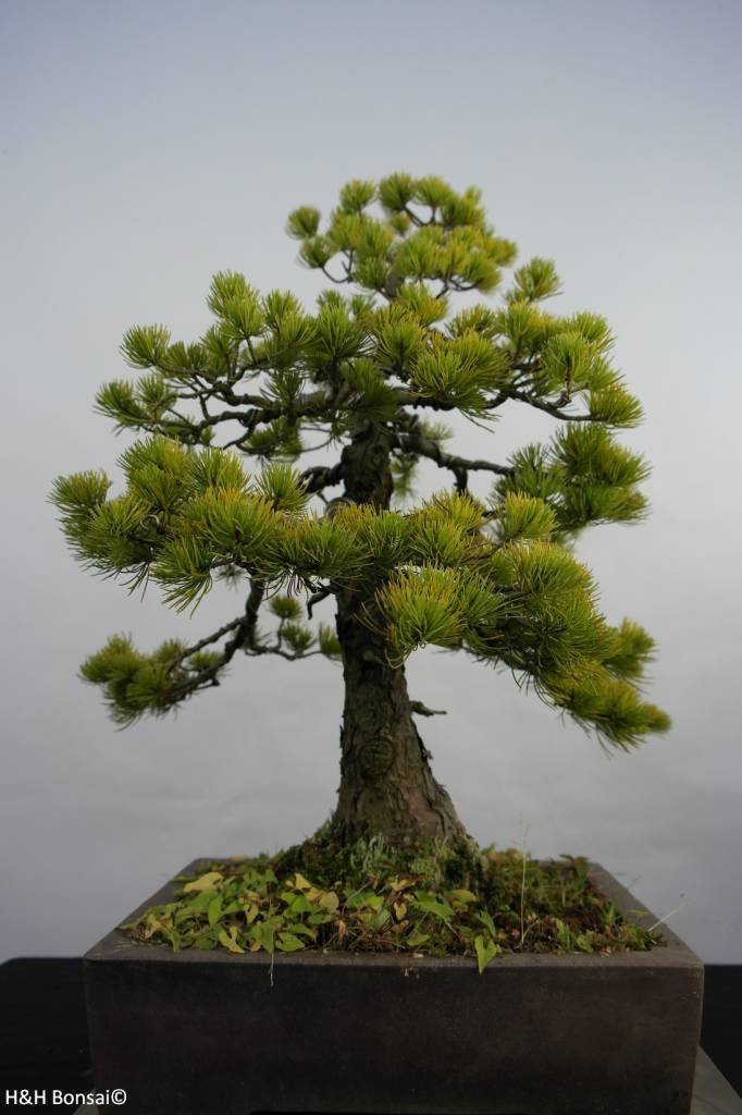 bonsai m dchenkiefer pinus penthaphylla nr 5845 www. Black Bedroom Furniture Sets. Home Design Ideas