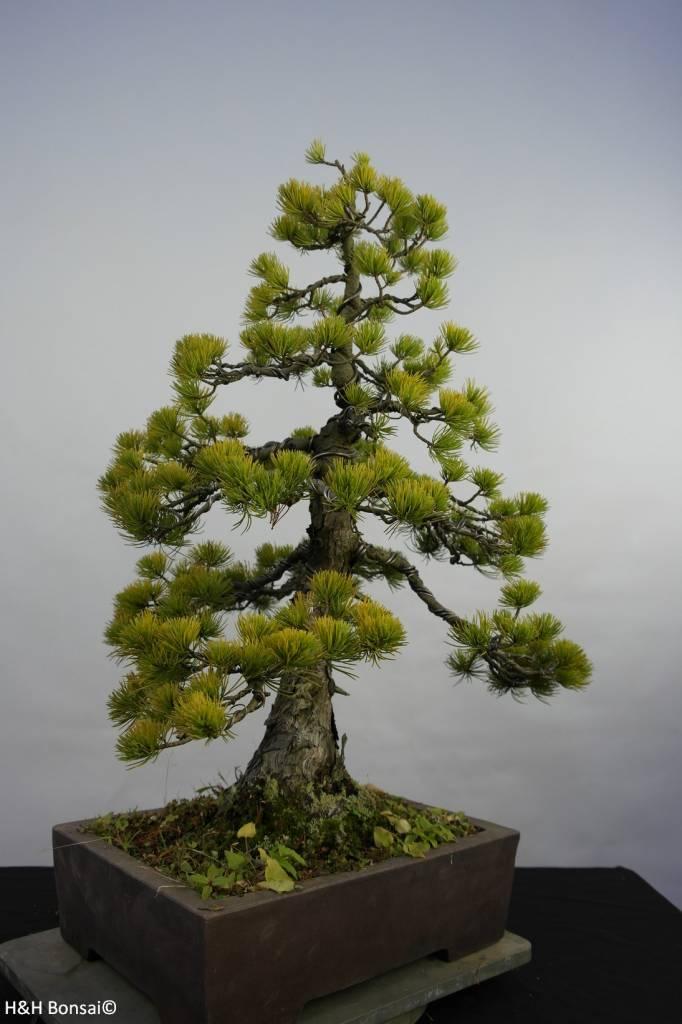 Bonsai Mädchenkiefer, Pinus penthaphylla, nr. 5845