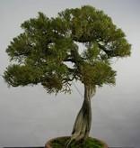 Bonsai Chin. Wacholder, Juniperus chinensis itoigawa, nr. 5846