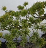 Bonsai Japanese White Pine, Pinus pentaphylla, no. 5847