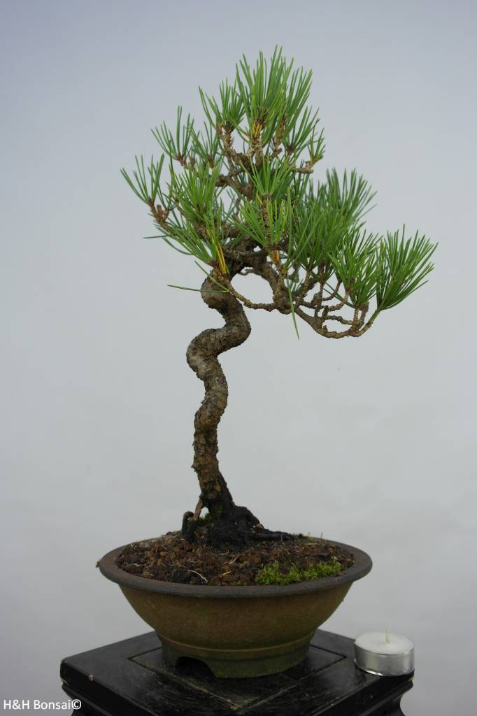 Bonsai Schwarzkiefer, Pinus thunbergii, nr. 5855