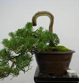 Bonsai Chin. Wacholder, Juniperus chinensis, nr. 5858