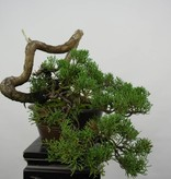 Bonsai Chin. Wacholder, Juniperus chinensis, nr. 5858