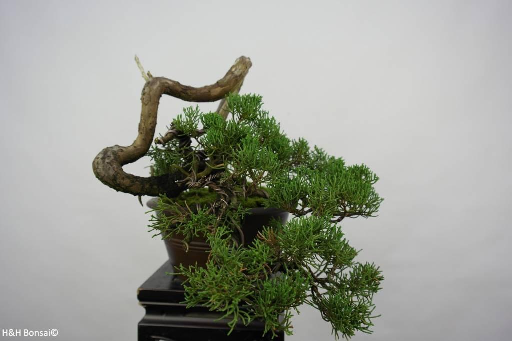 Bonsai Chinese Juniper, Juniperus chinensis, no. 5858