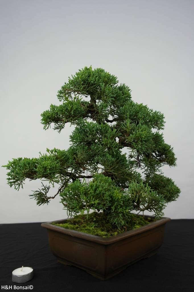 Bonsai Chin. Wacholder, Juniperus chinensis, nr. 5862