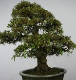 Bonsai Azalea Satsuki Kegon, no. 5660