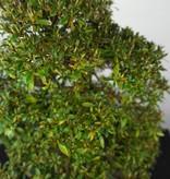 Bonsai Azalee Satsuki, Azalea Satsuki Kegon, nr. 5660