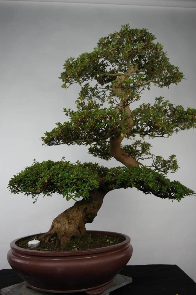 bonsai azalee satsuki azalea satsuki azora nr 5683. Black Bedroom Furniture Sets. Home Design Ideas