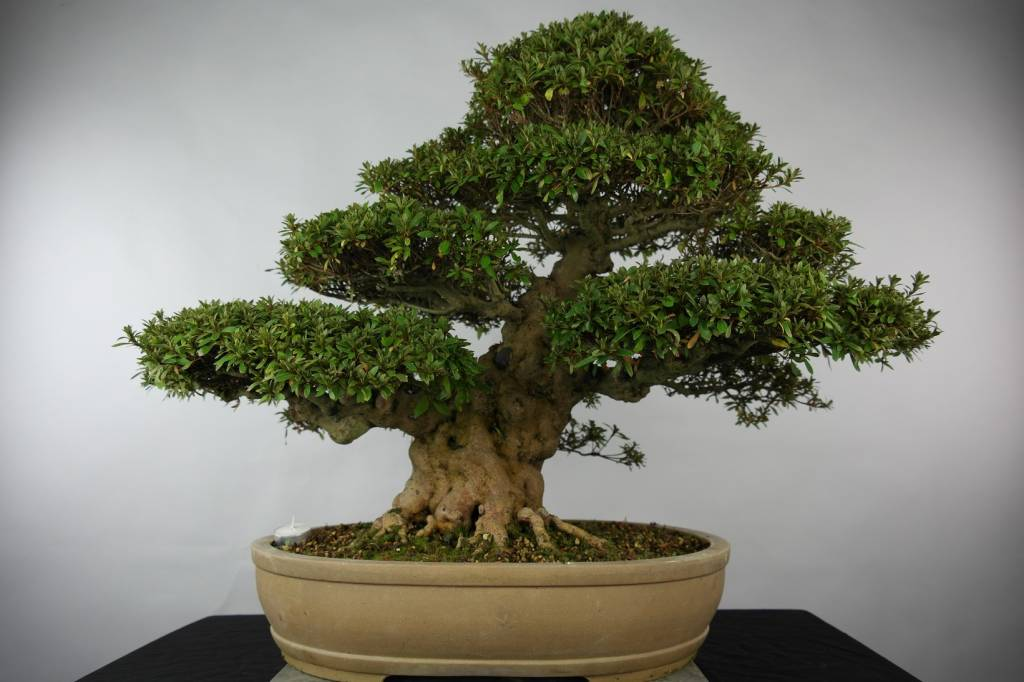 Bonsai Azalee Satsuki, Azalea Satsuki Kozan, nr. 5202