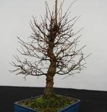 Bonsai Zelkova serrata, nr. 5563