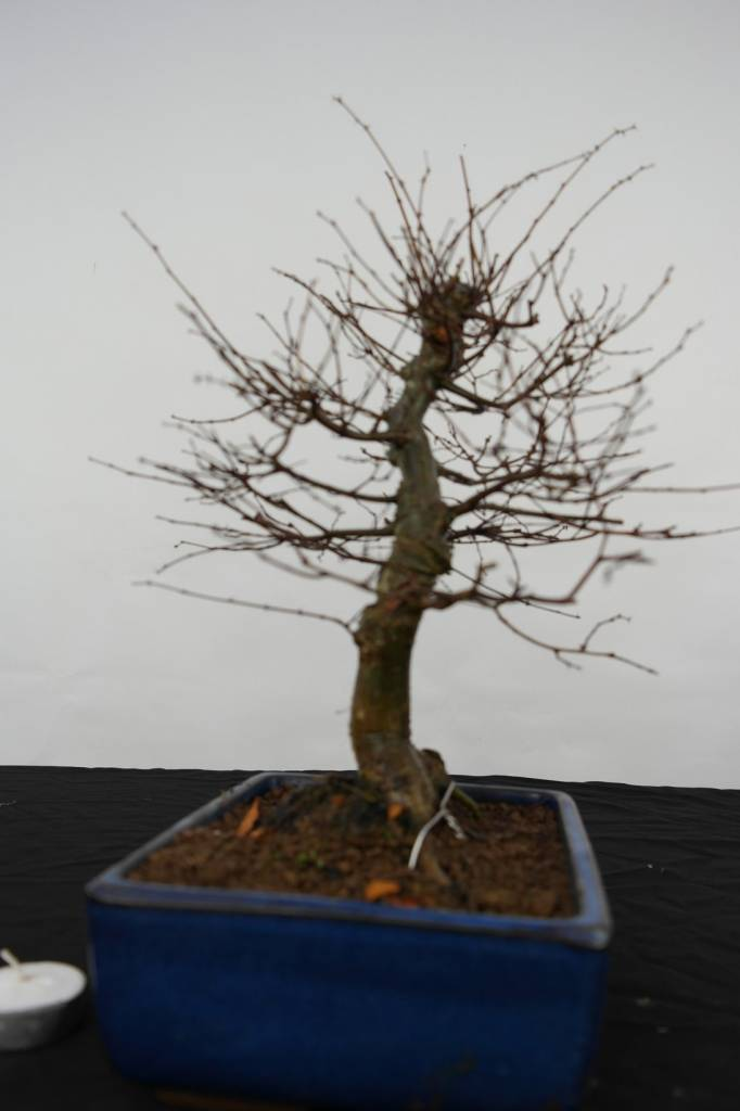 Bonsai Zelkova serrata, no. 5562