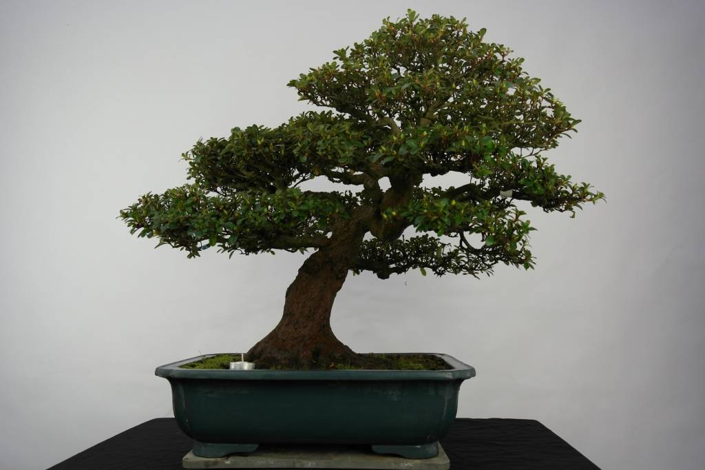 Bonsai Azalee Satsuki, Azalea Satsuki Kaho, nr. 5193