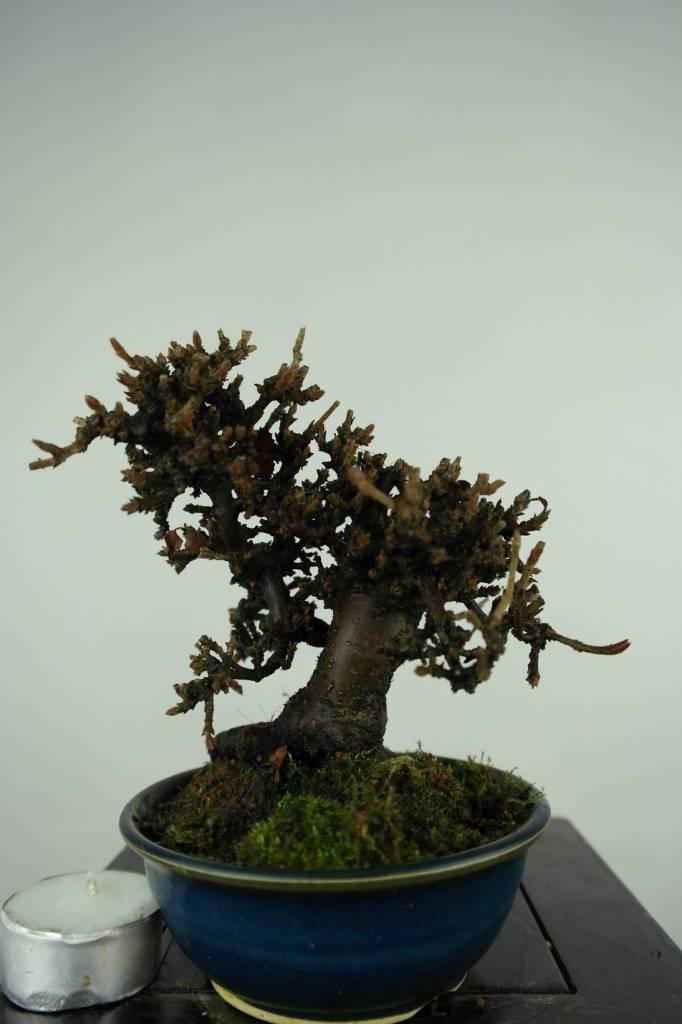 bonsai shohin viburnum nr 3270. Black Bedroom Furniture Sets. Home Design Ideas
