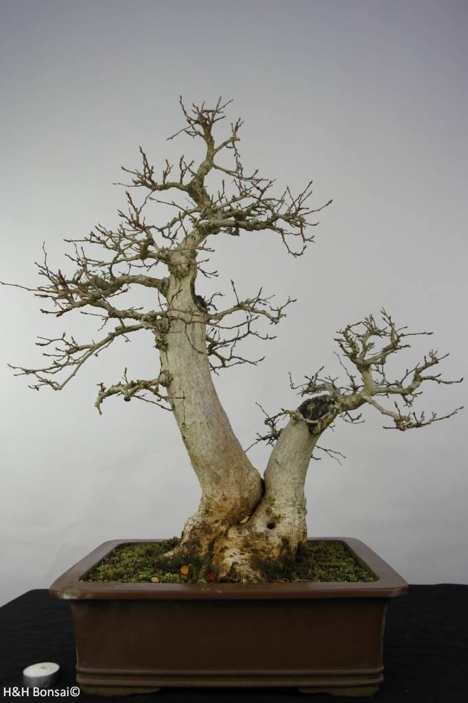 Bonsai Koreanische Hainbuche, Carpinus coreana, nr. 5886
