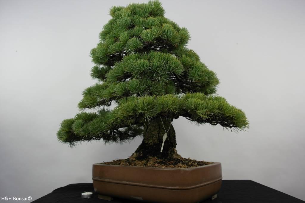 bonsai m dchenkiefer pinus parviflora nr 5895 www. Black Bedroom Furniture Sets. Home Design Ideas