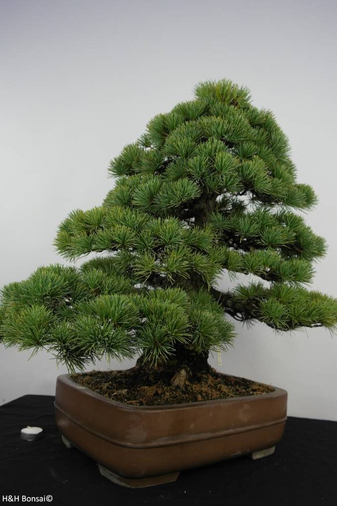 bonsai m dchenkiefer pinus parviflora nr 5895 www. Black Bedroom Furniture Sets. Home Design Ideas