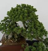 Bonsai Mädchenkiefer, Pinus penthaphylla zuisho, nr. 5896