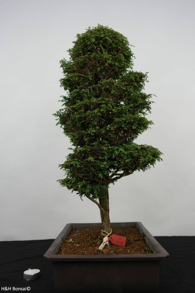 Bonsai Zypresse, Chamaecyparis sp. , nr. 5897