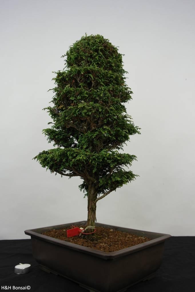 bonsai zypresse chamaecyparis sp nr 5897 www. Black Bedroom Furniture Sets. Home Design Ideas