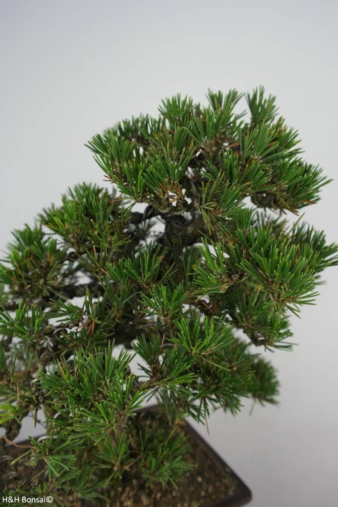 Bonsai Schwarzkiefer kotobuki, Pinus thunbergii kotobuki, nr. 5905