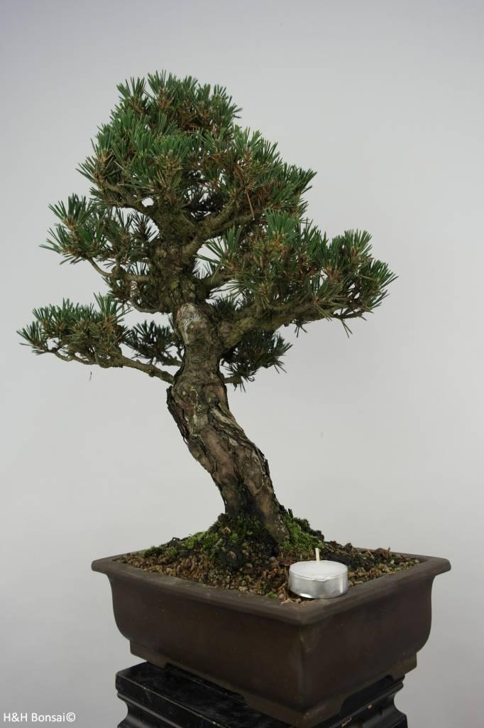 Bonsai Schwarzkiefer kotobuki, Pinus thunbergii kotobuki, nr. 5908