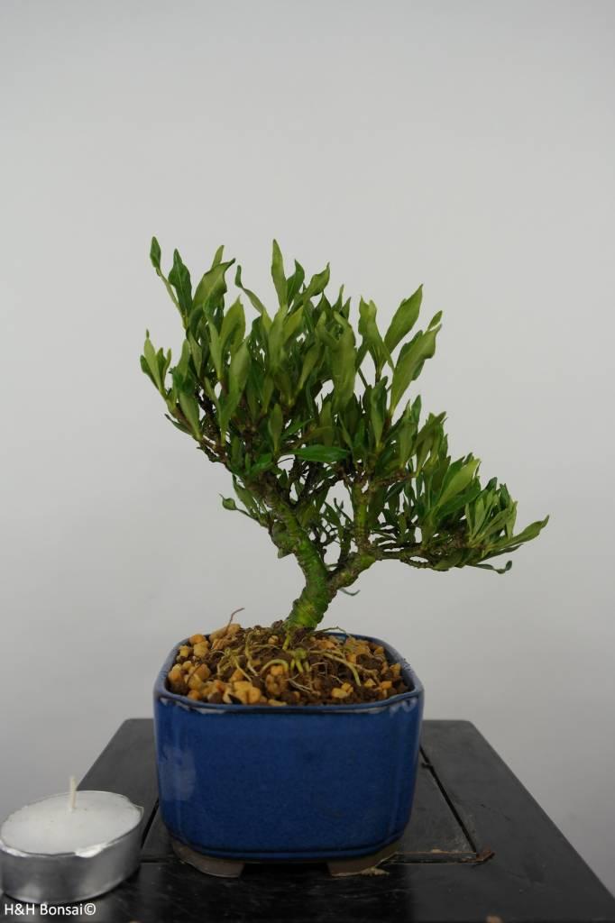 Bonsai Shohin Gardenie, Gardenia, nr. 5961