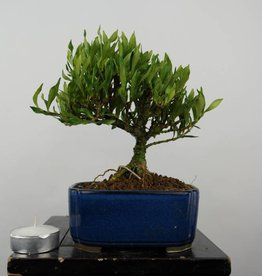 Bonsai Shohin Gardenia, no. 5963