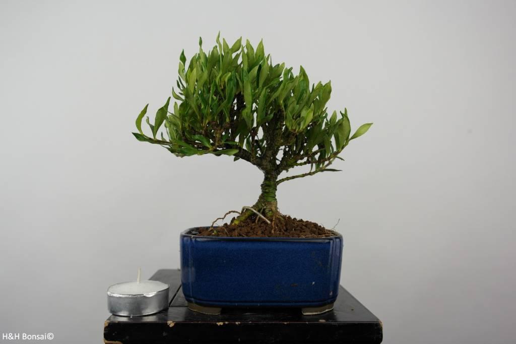 Bonsai Shohin Gardenie, Gardenia, nr. 5963