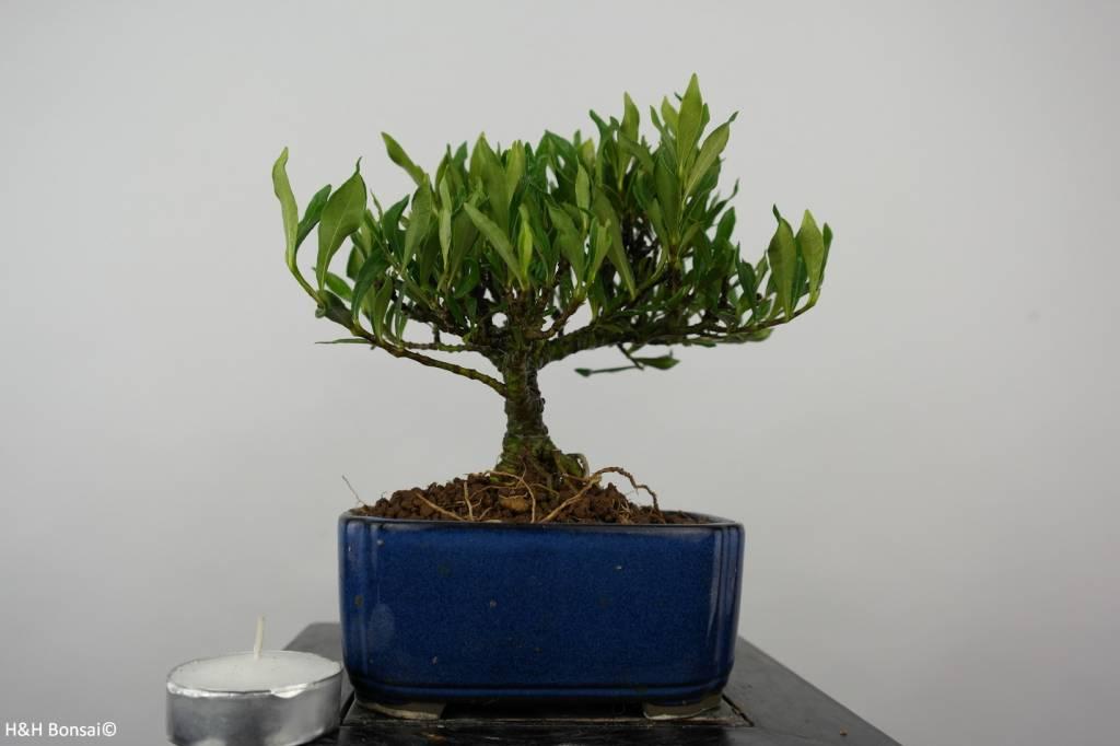 bonsai shohin gardenie gardenia nr 5963. Black Bedroom Furniture Sets. Home Design Ideas