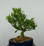 Bonsai Shohin Gardenie, Gardenia, nr. 5964