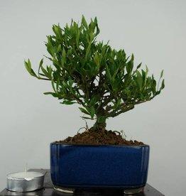 Bonsai Shohin Gardenie, Gardenia, nr. 5965