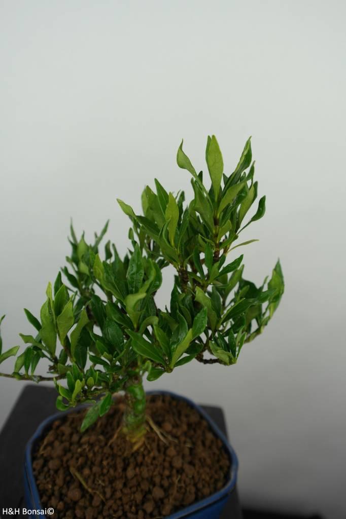 Bonsai Shohin Gardenie, Gardenia, nr. 5966